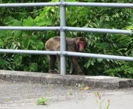 a monkey in tokushima shikoku